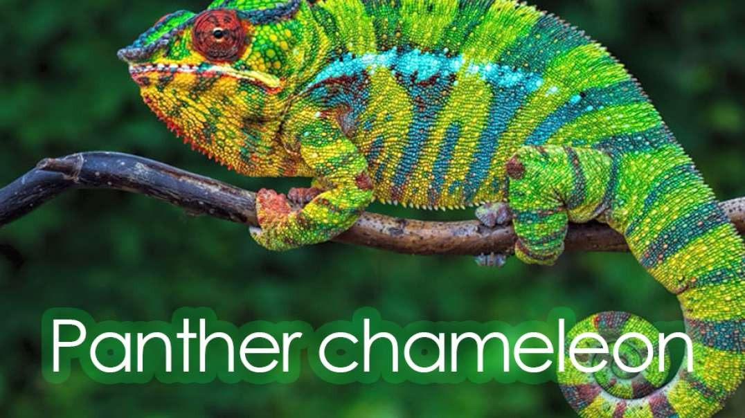 Panther chameleon.mp4