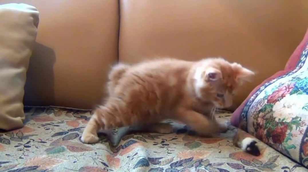 Little Kitten Playing His Toy Mouse