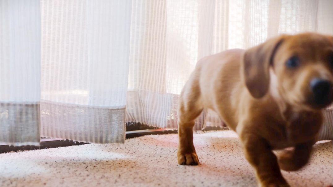 Brown Puppy Dashhund